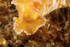 Επικεφαλής πορτρέτο ενός nudibranch Ceratosoma Tenue Malapascua, Φιλιππίνες στοκ εικόνες