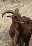 Επικεφαλής πρόβατα Βαρβαρίας lervia Ammotragus Στοκ Φωτογραφία