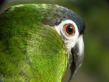 Επικεφαλής επικεφαλής πυροβολισμός Hahn macaw πράσινος στοκ εικόνες