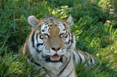 επικεφαλής τίγρη πορτρέτ&omicro Στοκ εικόνες με δικαίωμα ελεύθερης χρήσης