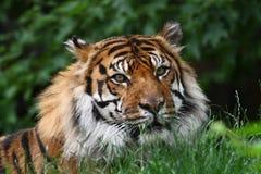 επικεφαλής τίγρη Στοκ εικόνα με δικαίωμα ελεύθερης χρήσης