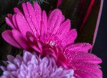 Επικεφαλής του ιώδους λουλουδιού gerbera, μαύρο υπόβαθρο 2 Στοκ εικόνες με δικαίωμα ελεύθερης χρήσης