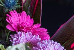 Επικεφαλής του ιώδους λουλουδιού gerbera, μαύρο υπόβαθρο 1 Στοκ φωτογραφία με δικαίωμα ελεύθερης χρήσης