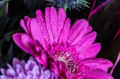 Επικεφαλής του ιώδους λουλουδιού gerbera, μαύρο υπόβαθρο 3 Στοκ Φωτογραφίες