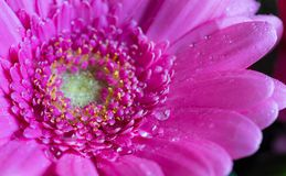 Επικεφαλής του ιώδους λουλουδιού 1 gerbera Στοκ φωτογραφία με δικαίωμα ελεύθερης χρήσης