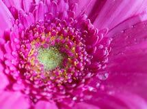 Επικεφαλής του ιώδους λουλουδιού 2 gerbera Στοκ Φωτογραφίες