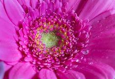 Επικεφαλής του ιώδους λουλουδιού 3 gerbera Στοκ εικόνες με δικαίωμα ελεύθερης χρήσης