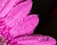 Επικεφαλής του ιώδους λουλουδιού 6 gerbera Στοκ εικόνες με δικαίωμα ελεύθερης χρήσης