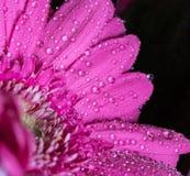 Επικεφαλής του ιώδους λουλουδιού 5 gerbera Στοκ φωτογραφία με δικαίωμα ελεύθερης χρήσης