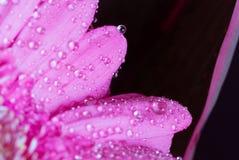 Επικεφαλής του ιώδους λουλουδιού 8 gerbera Στοκ φωτογραφία με δικαίωμα ελεύθερης χρήσης