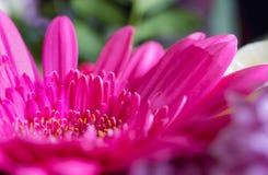 Επικεφαλής του λουλουδιού μαργαριτών gerbera Μακρο φωτογραφία Στοκ φωτογραφία με δικαίωμα ελεύθερης χρήσης