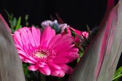 Επικεφαλής του λουλουδιού μαργαριτών gerbera μεγάλο απελευθέρωσης πράσινο ύδωρ φωτογραφίας φύλλων μακρο Στοκ φωτογραφία με δικαίωμα ελεύθερης χρήσης