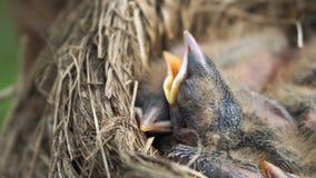 Επικεφαλής των νεογέννητων νεοσσών τσιχλών που κοιμούνται σε μια φωλιά κοντά επάνω απόθεμα βίντεο