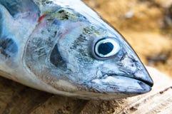 Επικεφαλής των ψαριών τόνου Στοκ Εικόνες