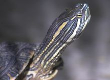 επικεφαλής χελώνα στοκ φωτογραφίες