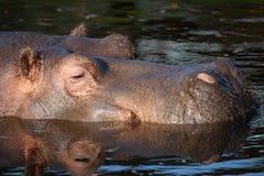επικεφαλής ύδωρ hippopotamus Στοκ εικόνες με δικαίωμα ελεύθερης χρήσης