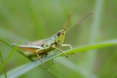 Επικεφαλής grasshopper της κινηματογράφησης σε πρώτο πλάνο, μακροεντολή στοκ φωτογραφία