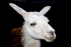επικεφαλής llama λάμα glama Στοκ φωτογραφία με δικαίωμα ελεύθερης χρήσης