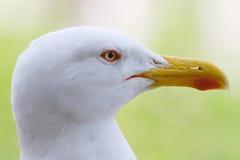 επικεφαλής seagull Στοκ εικόνα με δικαίωμα ελεύθερης χρήσης