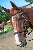 Επικεφαλής άλογο κούρσας Στοκ φωτογραφία με δικαίωμα ελεύθερης χρήσης