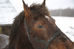 επικεφαλής άλογο Στοκ φωτογραφίες με δικαίωμα ελεύθερης χρήσης