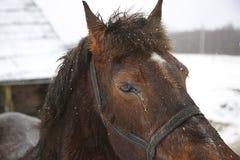 επικεφαλής άλογο Στοκ Εικόνα