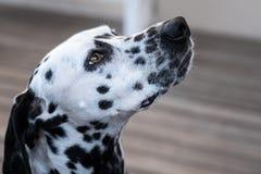 Επικεφαλής ενός δαλματικού σκυλιού Στοκ Φωτογραφίες
