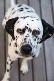 Επικεφαλής ενός δαλματικού σκυλιού Στοκ εικόνες με δικαίωμα ελεύθερης χρήσης