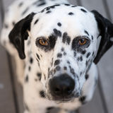Επικεφαλής ενός δαλματικού σκυλιού Στοκ φωτογραφίες με δικαίωμα ελεύθερης χρήσης