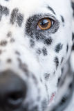 Επικεφαλής ενός δαλματικού σκυλιού Στοκ Εικόνα