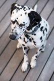 Επικεφαλής ενός δαλματικού σκυλιού Στοκ εικόνα με δικαίωμα ελεύθερης χρήσης