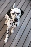 Επικεφαλής ενός δαλματικού σκυλιού Στοκ Εικόνες