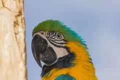Επικεφαλής ενός παπαγάλου στο δέντρο που κοιτάζει κατά μέρος Στοκ εικόνες με δικαίωμα ελεύθερης χρήσης