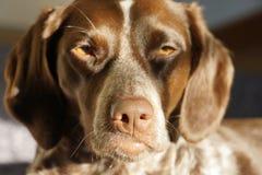Επικεφαλής ενός σκυλιού στον ήλιο Στοκ Φωτογραφία