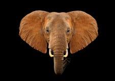 Επικεφαλής ελέφαντας σε ένα μαύρο υπόβαθρο Στοκ φωτογραφίες με δικαίωμα ελεύθερης χρήσης