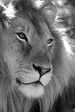 επικεφαλής λιοντάρι στοκ εικόνες με δικαίωμα ελεύθερης χρήσης