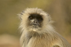Επικεφαλής και ώμοι μαύρος-αντιμέτωπος gibbon στο εθνικό πάρκο Ranthambore Στοκ Εικόνες