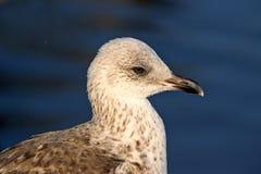 Επικεφαλής και ώμοι του πουλιού γλάρων Στοκ Εικόνα