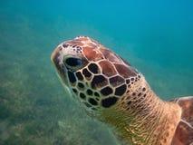 Επικεφαλής κινηματογράφηση σε πρώτο πλάνο χελωνών πράσινης θάλασσας Στοκ Εικόνες