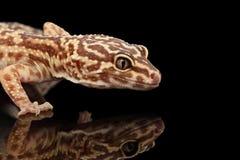 Επικεφαλής κινηματογραφήσεων σε πρώτο πλάνο του macularius Gecko Eublepharis λεοπαρδάλεων που απομονώνεται στο Μαύρο Στοκ Εικόνα