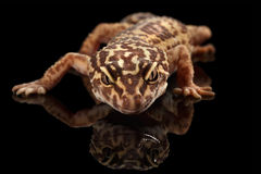 Επικεφαλής κινηματογραφήσεων σε πρώτο πλάνο του macularius Gecko Eublepharis λεοπαρδάλεων που απομονώνεται στο Μαύρο Στοκ Φωτογραφίες