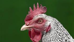 Επικεφαλής κοτόπουλο απόθεμα βίντεο