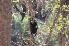 Επικεφαλής πίθηκος Macaque λιονταριών Στοκ εικόνα με δικαίωμα ελεύθερης χρήσης