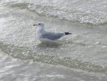 Επικεφαλής παραλία της νότιας Καρολίνας Hilton πουλιών παραλιών Στοκ φωτογραφία με δικαίωμα ελεύθερης χρήσης