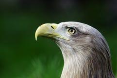 Επικεφαλής πορτρέτο του πουλιού αετών Στοκ εικόνες με δικαίωμα ελεύθερης χρήσης