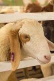 Επικεφαλής πρόβατα κινηματογραφήσεων σε πρώτο πλάνο Στοκ Φωτογραφίες