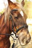 Επικεφαλής πυροβολισμός ενός όμορφου καφετιού αλόγου που φορά το χαλινάρι στο pinfold Στοκ Εικόνες