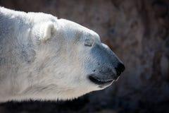 Επικεφαλής πυροβολισμός πολικών αρκουδών στο σχεδιάγραμμα Στοκ εικόνα με δικαίωμα ελεύθερης χρήσης