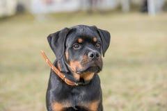 Επικεφαλής πυροβολισμός Rottweiler Στοκ Φωτογραφίες