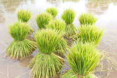 Επικεφαλής ρύζι Στοκ Εικόνα